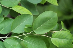 Leaves-of-Juneberry