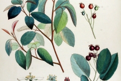 Plant-Illustration-of-Juneberry
