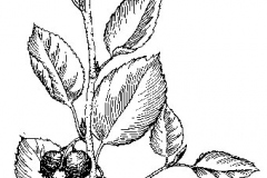 Sketch-of-Juneberry