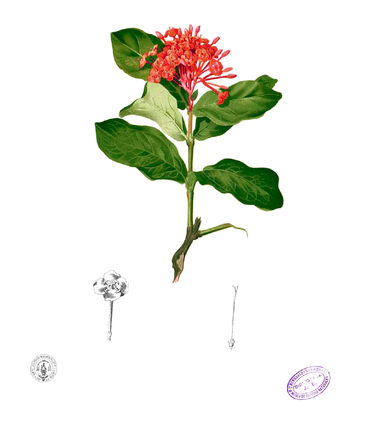 Plant-Illustration-of-Jungle-Geranium