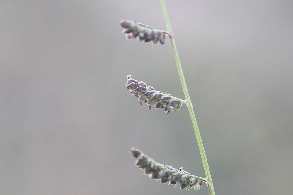 Flower-of-Jungle-rice