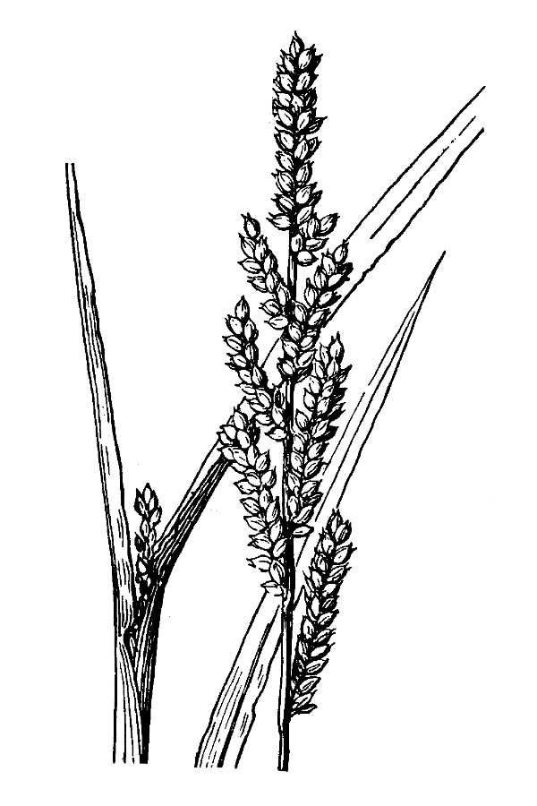Sketch-of-Jungle-rice