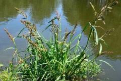 Jungle-rice-plant