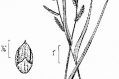 Plant-Illustration-of-Jungle-rice