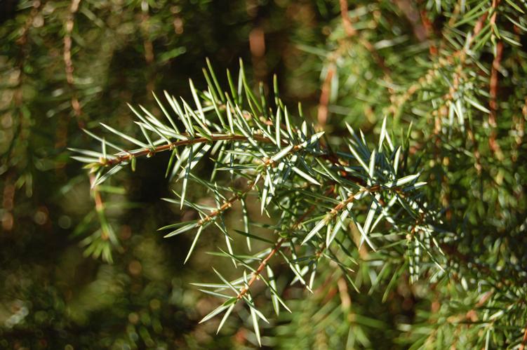 Allergy to pine juniper gin