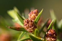 Flower-of-Juniper-berry