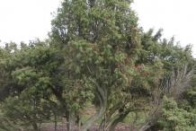 Juniper-Berry-tree