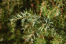 Leaves-of-Juniper-berry