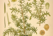 Plant-illustration-of-Juniper-berry