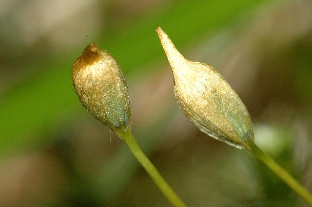Juniper-Haircap-female