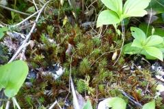 Juniper-Haircap-moss