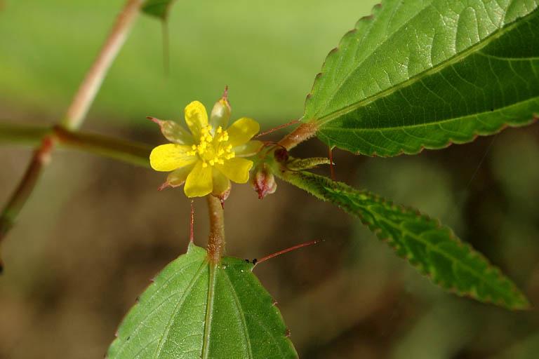 Close-up-flower-of-Jute