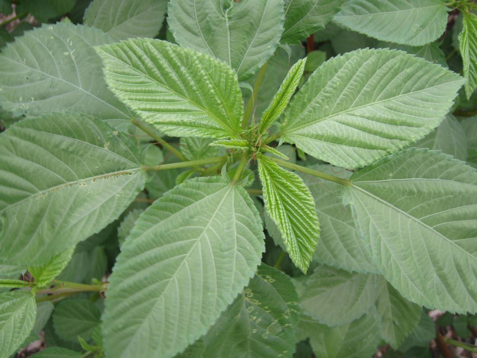 Leaves-of-Jute