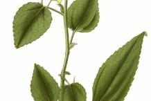 Plant-illustration-of-Jute