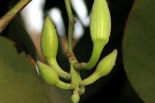 Flower-bud-of-Kachnar