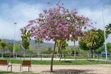 Kachnar-tree