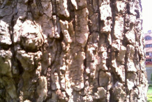 Close-up-view-of-kadamba-bark