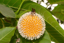 Flower-of-Kadamba-tree