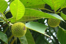 Immature-Kadamba-fruit