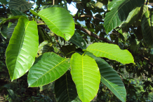 Leaf-of-Kadamba-tree