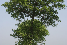 Mature-Kadamba-Tree