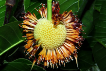 Mature-flower-falling-from-the-fruit