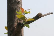Stem-of-Kadamba-tree
