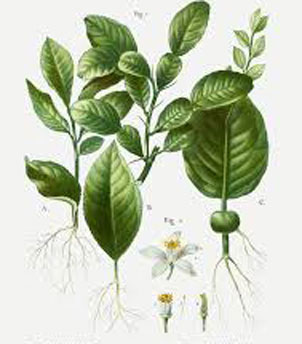 Plant-Illustration-of-Kaffir-Lime