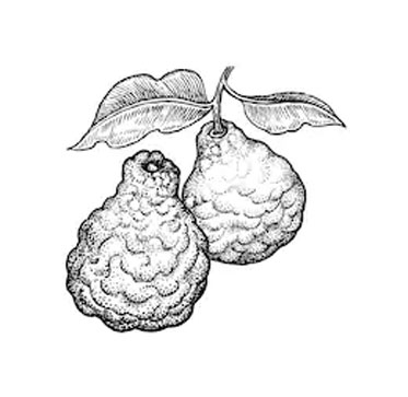 Sketch-of-Kaffir-Lime