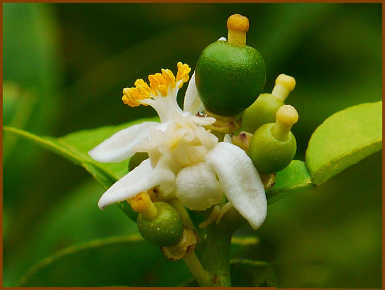 Tiny-Kaffir-lime-appearing-from-the-flower