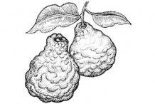 Sketch-of-Kaffir-Lime