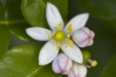 Flowers-of-Kaffir-Lime