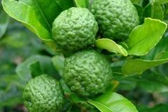 Kaffir-Lime-on-the-tree