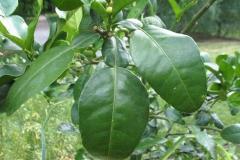 Leaves-of-Kaffir-Lime