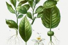 Plant-Illustration-of-Kaffir-Lime