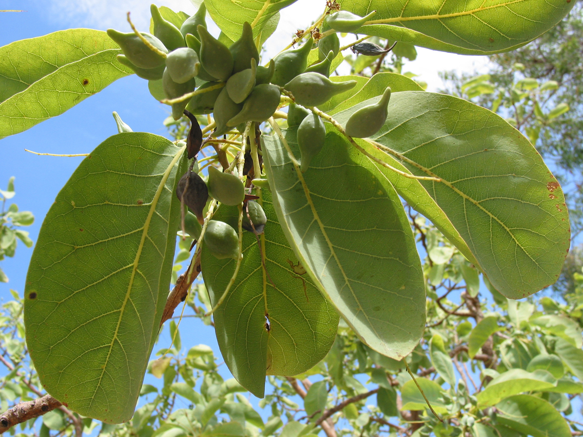 Kakadu-plum-leaves