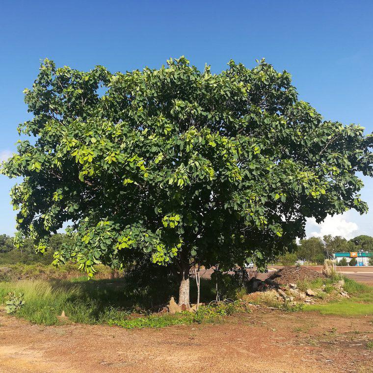 Kakadu-plum-tree