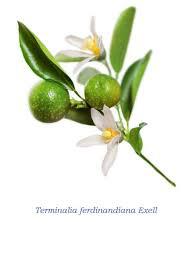 Plant-illustration-of-Kakadu-plum