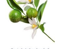 Plant-illustration-of-Kakadu-plum