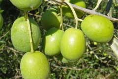 Closer-view-of-fruit-of-Kalamata-Olives