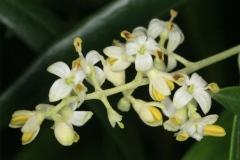 Flowers-of-Kalamata-Olives