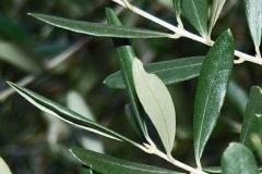 Leaves-of-Kalamata-Olives