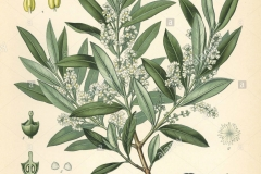 Plant-Illustration-of-Kalamata-Olives