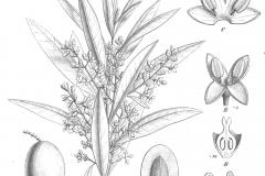 Sketch-of-Kalamata-Olives
