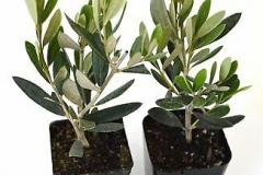 Small-Kalamata-Olives-plant