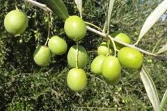 Unripe-fruits-of-Kalamata-Olives