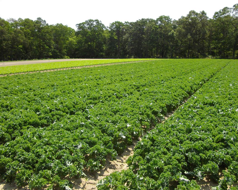 Kale-farm