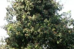 Kamala-tree