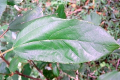 Leaves-of-Kamala-tree
