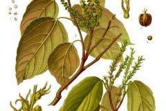 Plant-Illustration-of-Kamala-tree